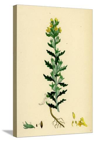 Bartsia Viscosa Yellow Bartsia--Stretched Canvas Print