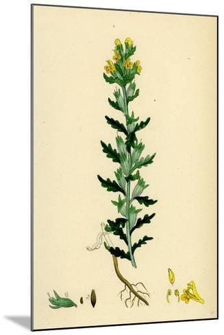 Bartsia Viscosa Yellow Bartsia--Mounted Giclee Print