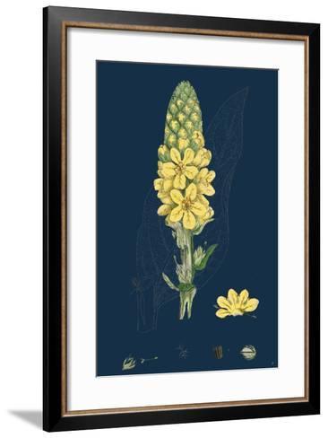 Bellis Perennis; Common Daisy--Framed Art Print
