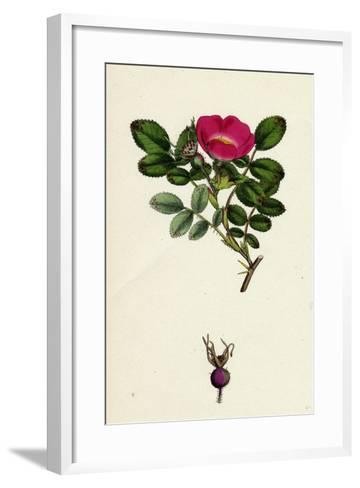 Rosa Mollissima Soft-Leaved Rose--Framed Art Print