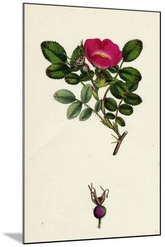 Rosa Mollissima Soft-Leaved Rose--Mounted Giclee Print