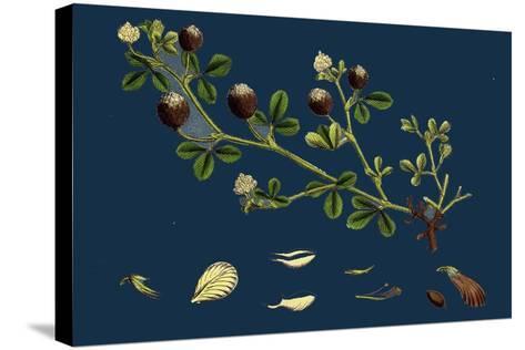 Asperula Odorata; Sweet Woodruff--Stretched Canvas Print