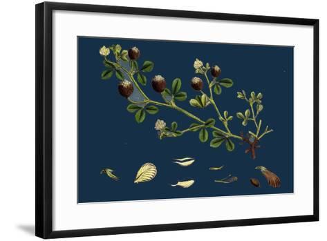 Asperula Odorata; Sweet Woodruff--Framed Art Print