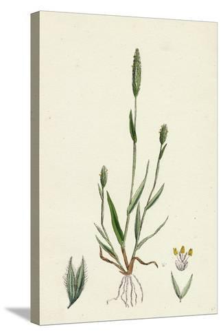 Phleum Arenarium Sand Timothy-Grass--Stretched Canvas Print