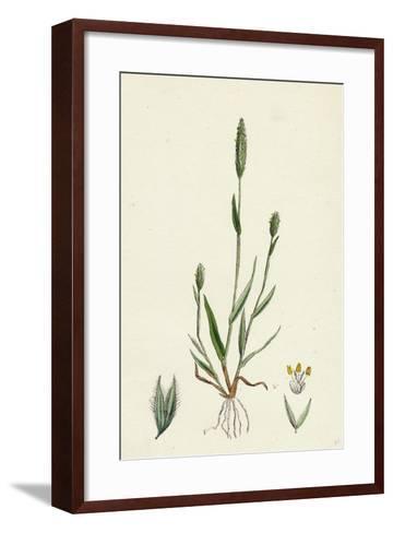 Phleum Arenarium Sand Timothy-Grass--Framed Art Print
