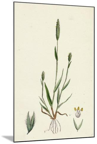 Phleum Arenarium Sand Timothy-Grass--Mounted Giclee Print