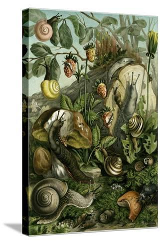Land Molluscs or Snails and Slugs--Stretched Canvas Print
