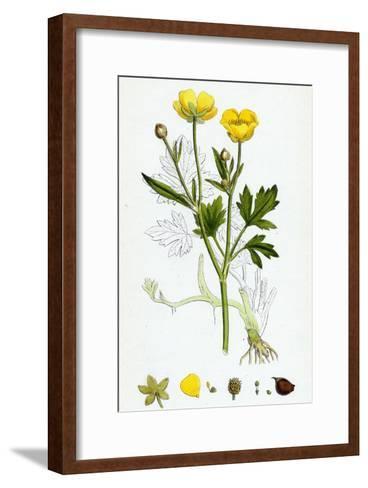 Ranunculus Repens Creeping Crowfoot--Framed Art Print