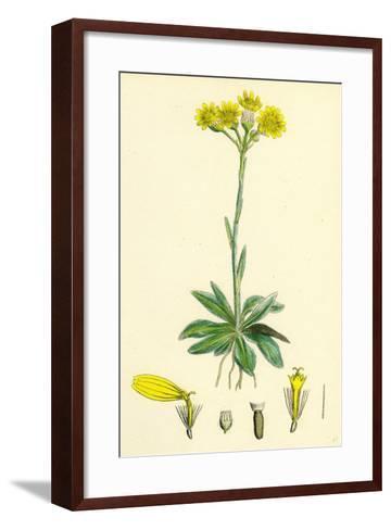 Senecio Campestris Field Fleawort--Framed Art Print