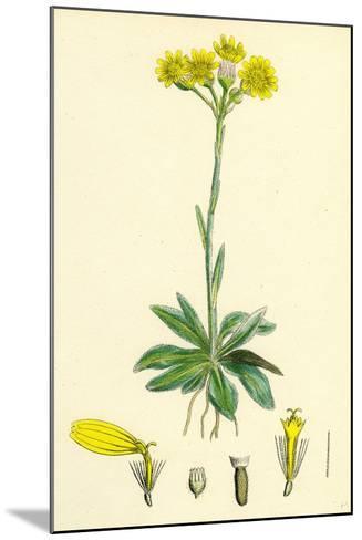 Senecio Campestris Field Fleawort--Mounted Giclee Print