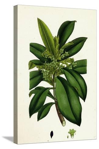 Daphne Laureola Spurge Laurel--Stretched Canvas Print