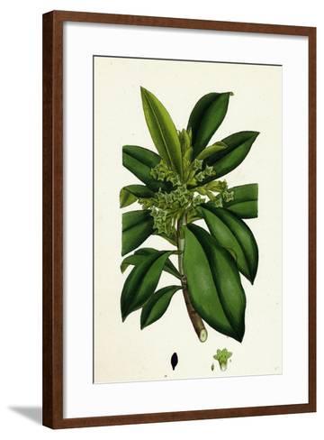 Daphne Laureola Spurge Laurel--Framed Art Print