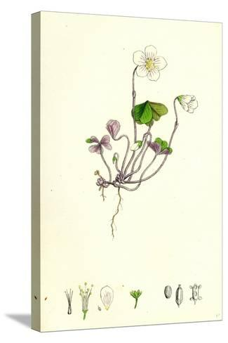 Oxalis Acetosella Wood Sorrel--Stretched Canvas Print