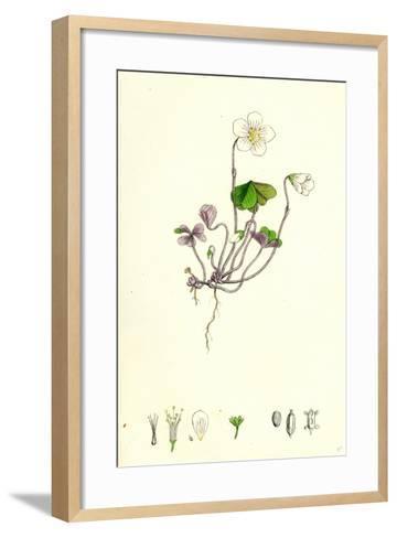 Oxalis Acetosella Wood Sorrel--Framed Art Print
