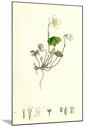 Oxalis Acetosella Wood Sorrel--Mounted Giclee Print