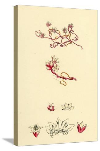 Cuscuta Epithymum Lesser Dodder--Stretched Canvas Print