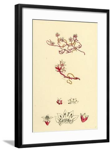 Cuscuta Epithymum Lesser Dodder--Framed Art Print