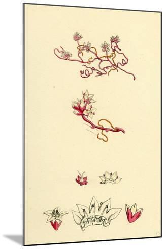 Cuscuta Epithymum Lesser Dodder--Mounted Giclee Print