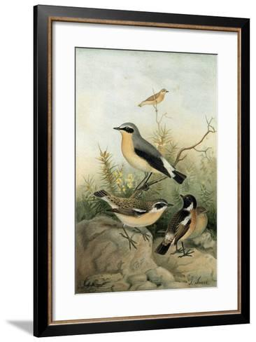 Wheatear Stonechat and Whinchat--Framed Art Print