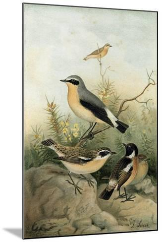 Wheatear Stonechat and Whinchat--Mounted Giclee Print