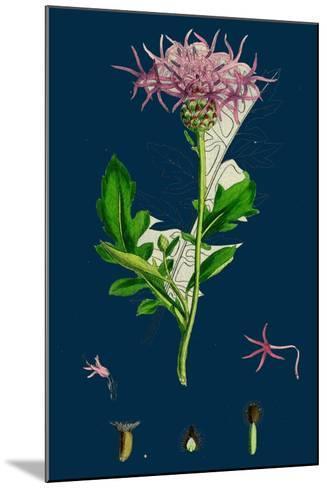 Hesperis Matronalis; Dame's Rocket--Mounted Giclee Print