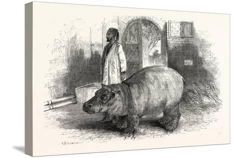 The Behemoth, or Hippopotamus--Stretched Canvas Print