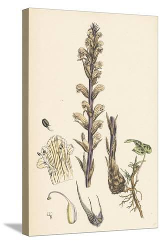 Orobanche Hederae Ivy Broom-Rape--Stretched Canvas Print