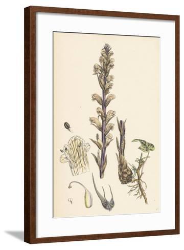 Orobanche Hederae Ivy Broom-Rape--Framed Art Print