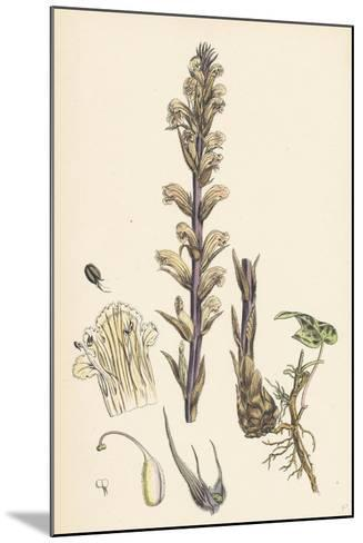 Orobanche Hederae Ivy Broom-Rape--Mounted Giclee Print
