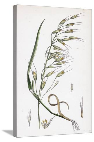 Avena Strigosa Black Oat--Stretched Canvas Print