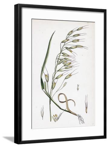 Avena Strigosa Black Oat--Framed Art Print