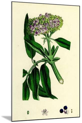 Sambucus Ebulus Danewort--Mounted Giclee Print