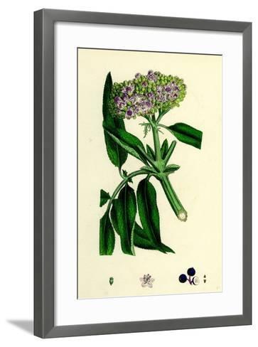 Sambucus Ebulus Danewort--Framed Art Print