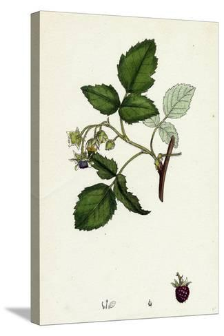 Rubus Idaeus Raspberry--Stretched Canvas Print