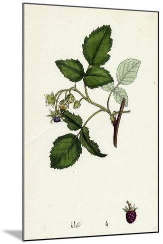 Rubus Idaeus Raspberry--Mounted Giclee Print