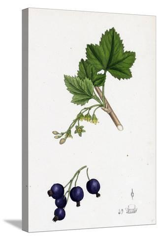 Ribes Nigrum Black Currant--Stretched Canvas Print