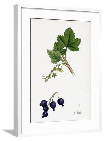 Ribes Nigrum Black Currant--Framed Art Print