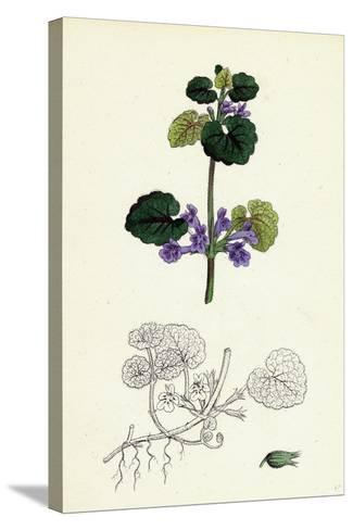 Nepeta Glechoma Ground Ivy--Stretched Canvas Print