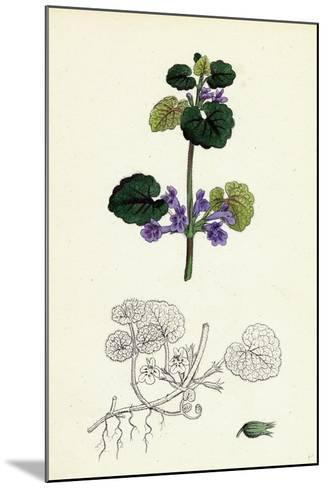 Nepeta Glechoma Ground Ivy--Mounted Giclee Print