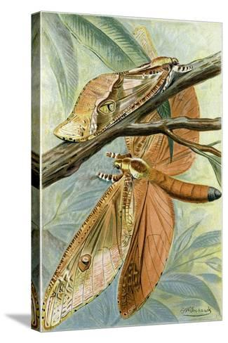Giant Swift Moth--Stretched Canvas Print