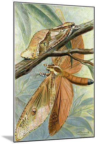Giant Swift Moth--Mounted Giclee Print
