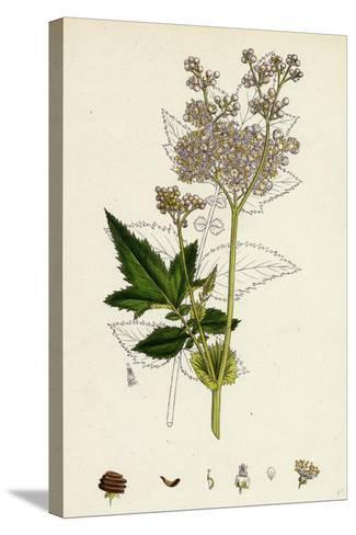 Spiraea Ulmaria Meadow-Sweet--Stretched Canvas Print