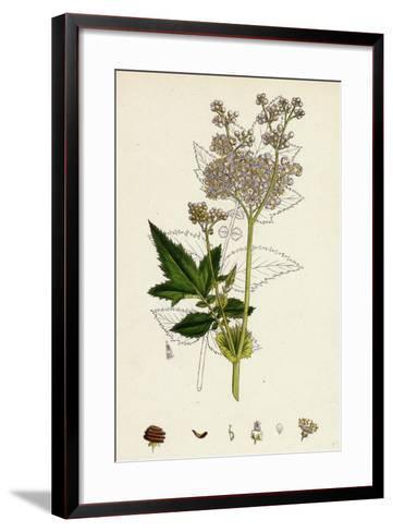 Spiraea Ulmaria Meadow-Sweet--Framed Art Print