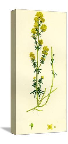 Galium Verum Yellow Bedstraw--Stretched Canvas Print