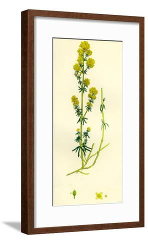 Galium Verum Yellow Bedstraw--Framed Art Print