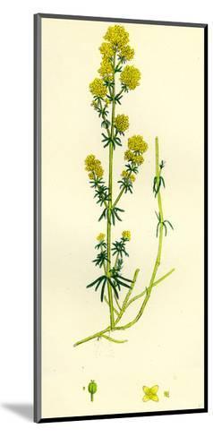 Galium Verum Yellow Bedstraw--Mounted Giclee Print