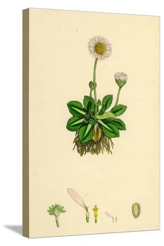 Bellis Perennis Common Daisy--Stretched Canvas Print