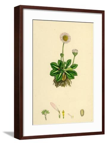 Bellis Perennis Common Daisy--Framed Art Print