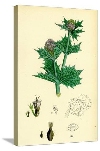 Eryngium Maritimum Sea-Holly--Stretched Canvas Print