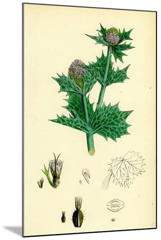 Eryngium Maritimum Sea-Holly--Mounted Giclee Print